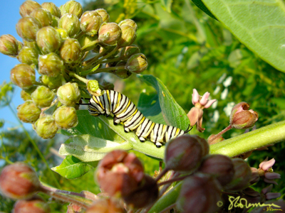 caterpillar, monarch, butterfly, milkweed, prairie, illinois, nature, outdoors, art, photo, photography, buds, flowers, bud, leaf, leaves, flower, suzanne, coleman, artofageniusmind, plant, plants, biology, green, pink