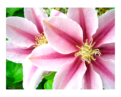 pink, clematis, pink clematis, flower, art, photo, nature, digital, petals, border, suzanne, coleman, artofageniusmind, decorative, painting