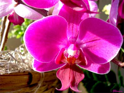 orchid, pink, flower, fuchsia, suzanne, coleman, artofageniusmind, nature, dogface