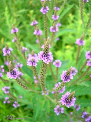 purple, green, flowers, illinois, nature, outdoors, 3-D, depth, suzanne, photo, art, coleman