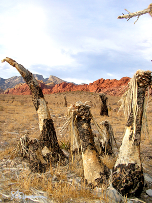 still, standing, desert, nevada, las vegas, nature, outdoors, photo, art, photograph, redrock, mountain, plant, dead, cloud, overcast, red, dry, west, USA, america, suzanne, coleman, artofageniusmind, cactus, cacti