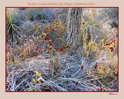 san diego, california, desert, west coast, suzanne, coleman, artofageniusmind, photography, nature, outside, outdoors, plants, ecosystem, ecology, red, buckwheat, sunset, sundown, sunlight, brush, prickly, cactus, cacti