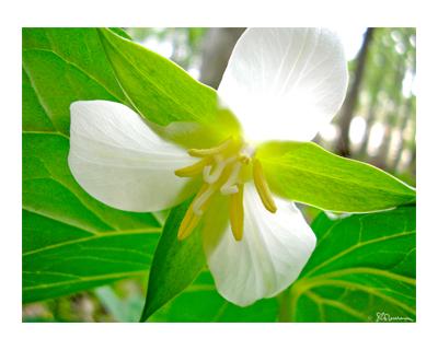 nature, outdoors, white trillium, trillium, forest, flower, spring, wildflower, illinois, petals, leaves, suzanne, coleman, artofageniusmind, photo, art,